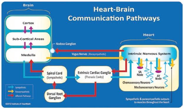 heart-brain-comm-paths