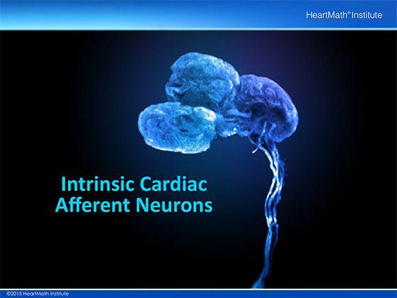 heart-neuron-slide-5